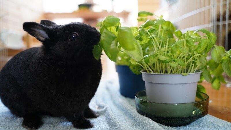 Kaninchen frisst Basilikum