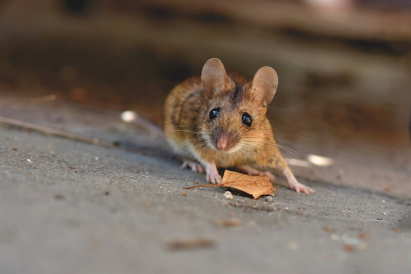 Maus auf dem Boden