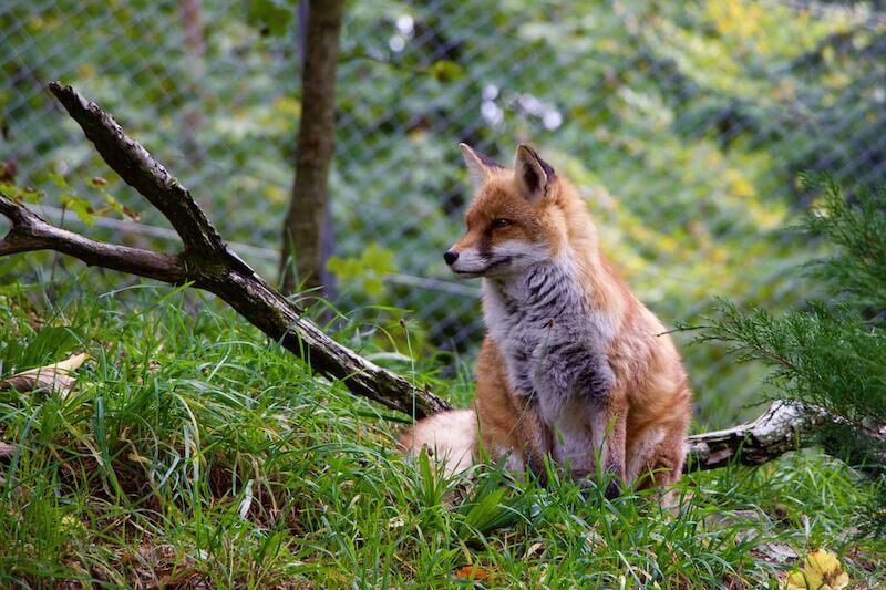 Fuchs auf der Wiese