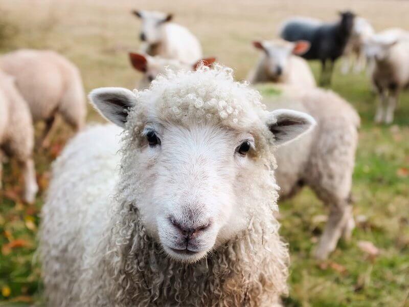Schaf mit Lockenkopf