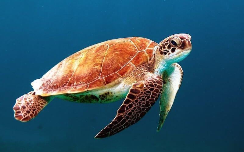 Schildkröte unter Wasser